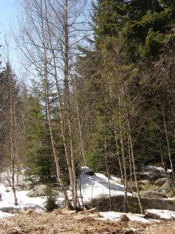 гората на Вертовала, в края на зимата