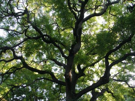 красиво зелено дърво в Морската градина на Варна