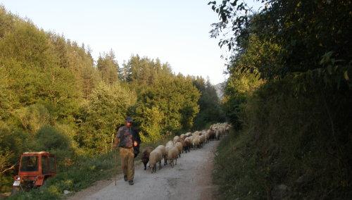 овчар води стадо 170 овце
