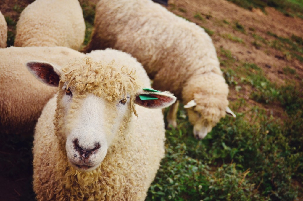 Cotswold-Sheep-on-a-Farm-in-Virginia-web